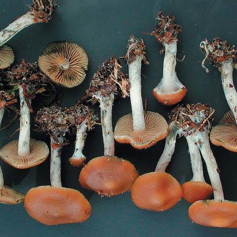 Psilocybe cyanescens